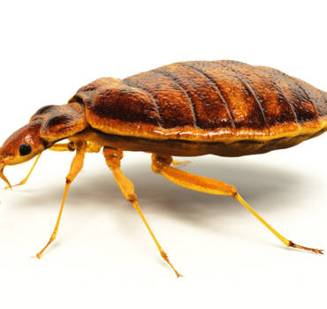 Bed Bugs